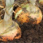 玉ねぎ栽培は土作りが大切!!作り方や植え付け時期について