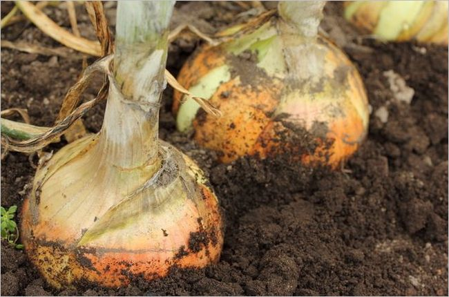 玉ねぎ栽培 土作り