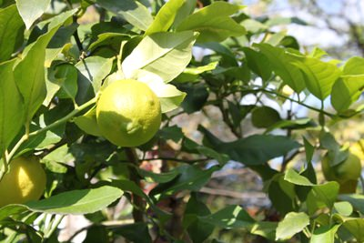 中庭のレモン