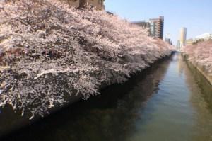 sakura_meguro_river_001
