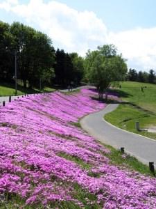 羊山公園 芝桜 見ごろ 混雑 渋滞