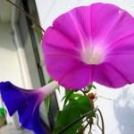 ベランダで花をつける朝顔。そんな朝顔に見習うべきこと。 #765