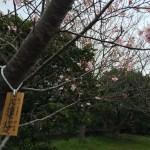 桜が一分咲き。それだけで元気になる!? #1287