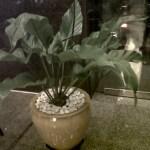 Anthurium Garuda - YanFlora.com 008