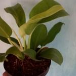 Phillodendron - Yanflora.com 009