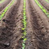 野菜の収穫を増やす中耕と土寄せ