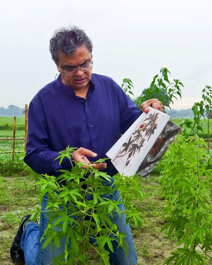 Resurrected phuti karpas cotton plants look identical to the kind used to grow Dhaka muslin hundreds of years ago (Credit: Drik/ Bengal Muslin)