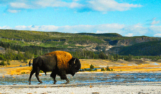 You'll see plenty of buffalo roaming the area.