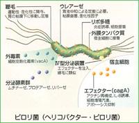 ヘリコバクターピロリ(2)