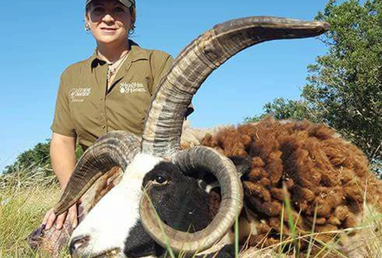 Four Horn Sheep Hunt