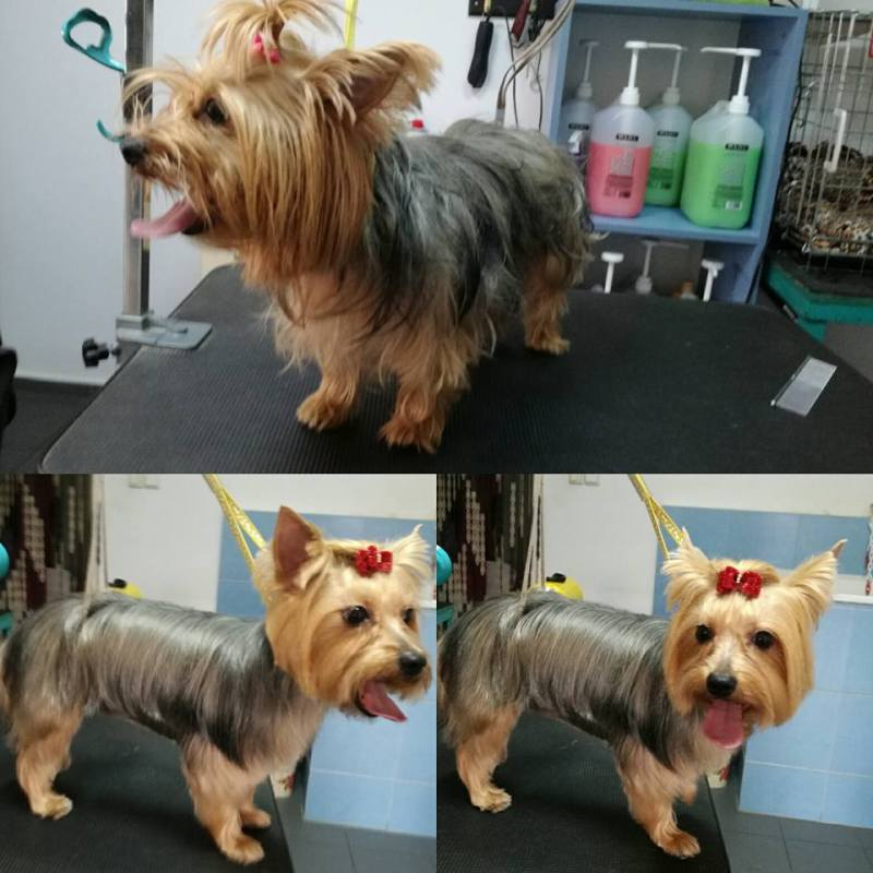 Large Of Yorkie Puppy Cut
