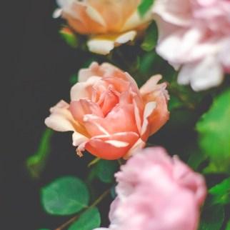 Rose 'Albertine'