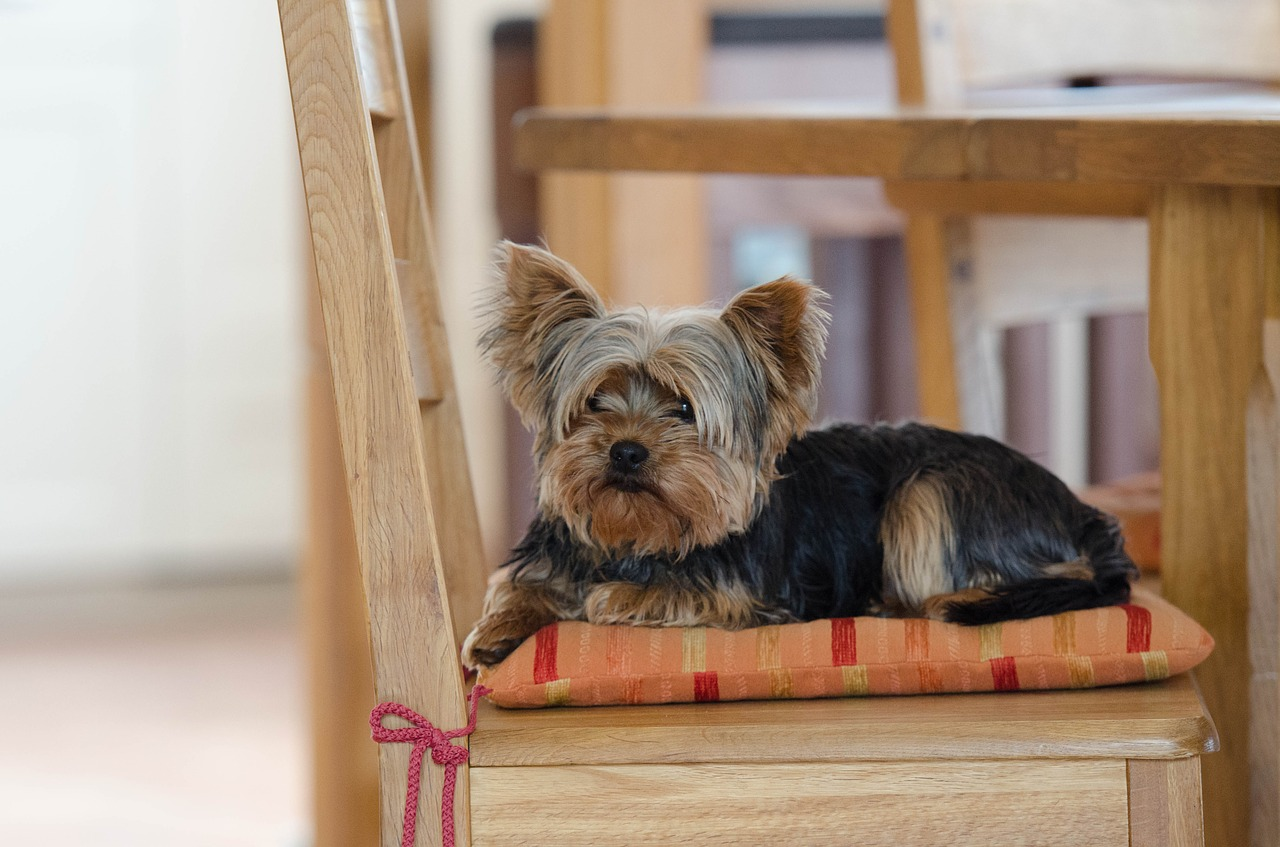 State Know Why Your Yorkie Refusing To Eat Why Is Your Yorkie Refusing To Eat Do Toy Yorkies Shed Do Parti Yorkies Shed bark post Do Yorkies Shed