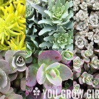 6 Hardy Succulent Sedums for Your Garden and Pots