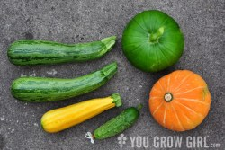 A range of open-pollinated garden squashes and zucchini