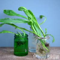 Growing Culantro from the Store-bought Herb
