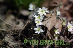 Sharp-lobed Hepatica (Photo by Gayla Trail)