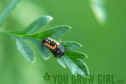 Lady Bug Larvae Photo by Gayla Trail