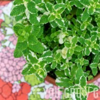 Herbs and Edible Flowers Growing Guide