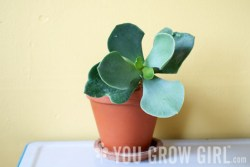 pigs ear cotyledon orbiculata by Gayla Trail