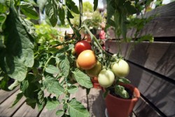 'Whippersnapper' tomatoes
