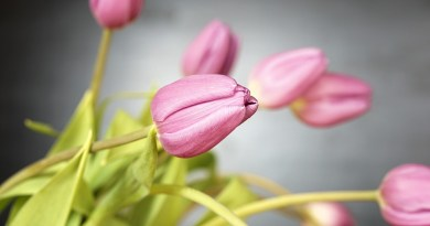 tulip-2141216_960_720