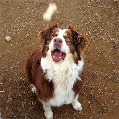 Red tri Aussie dog with mouth open to catch a treat