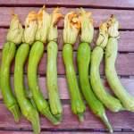 zucchini trombetta from Albenga 4_1_1
