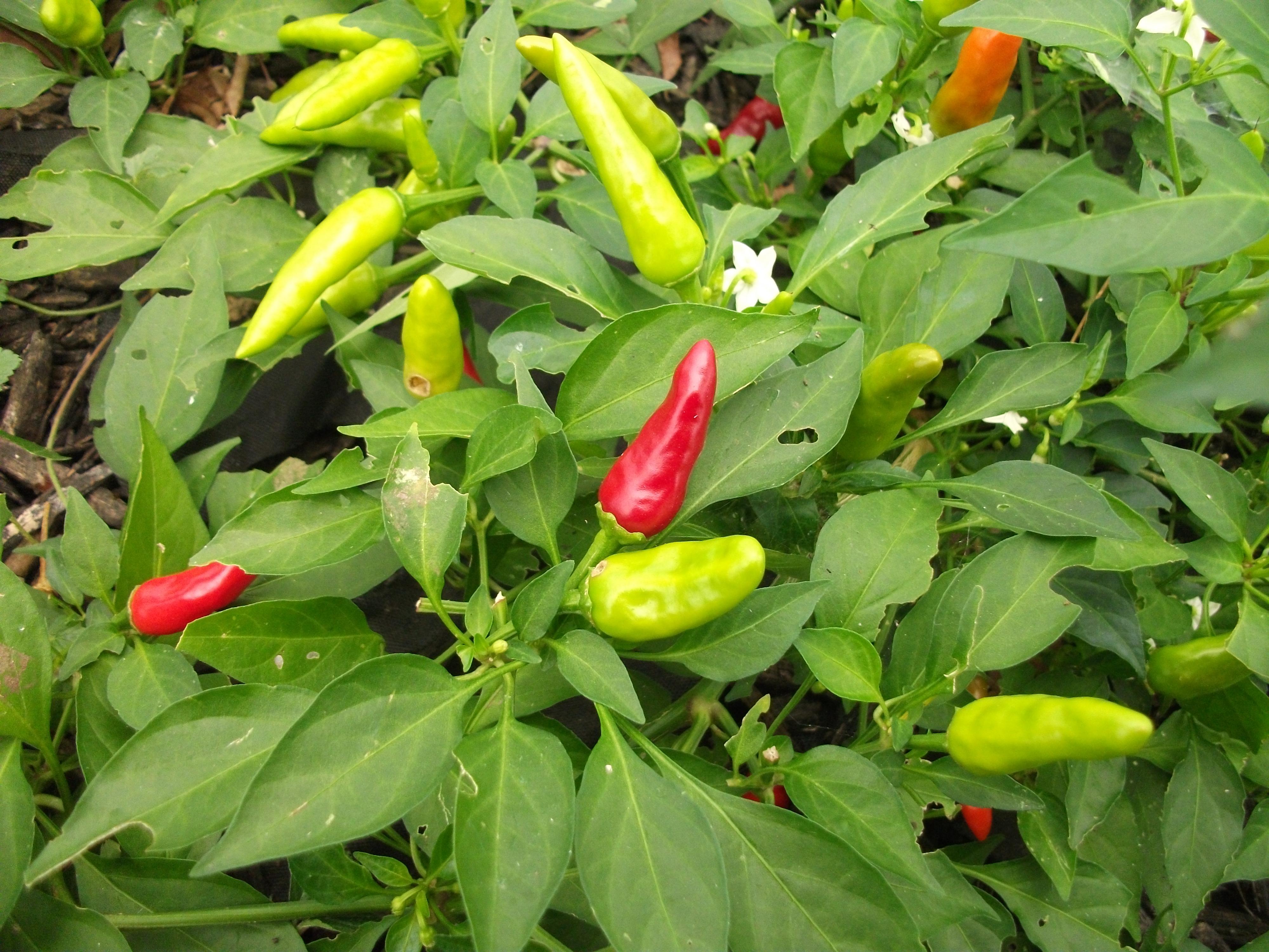 Fullsize Of Carolina Reaper Plant