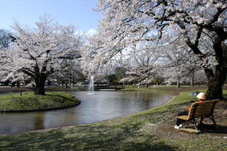 Gambar Pemandangan Taman Bunga Sakura Yang Indah Image By Pemandangan Japan Better Than You Watch P 2 Yoyuke 450x300