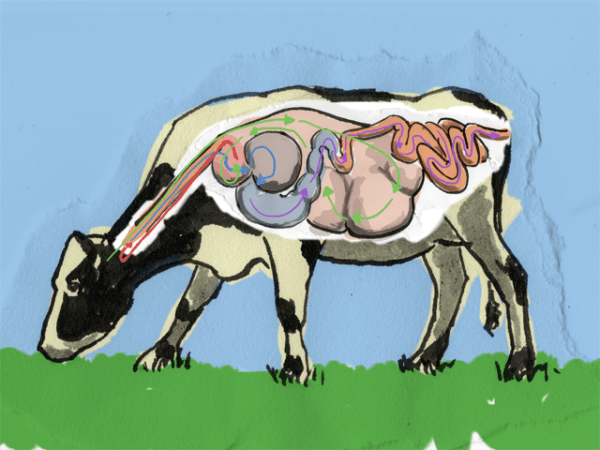 Cow digestion