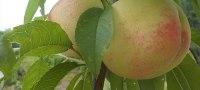 We wish we could eat the peach この桃、食べたかった