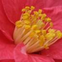 camellia-15212_640