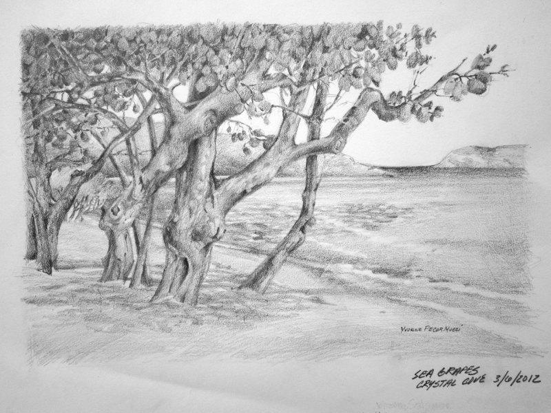 Large Of Sea Grape Tree