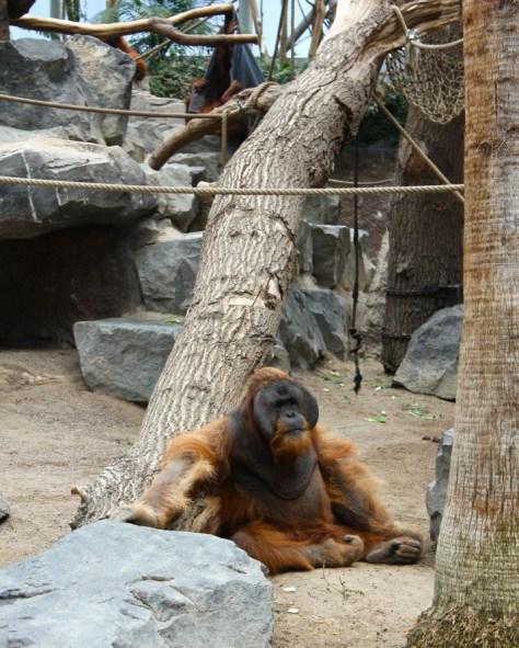 Orangutan at the Tierpark Hagenbeck Zoo in Hamburg Germany via ZaagiTravel.com