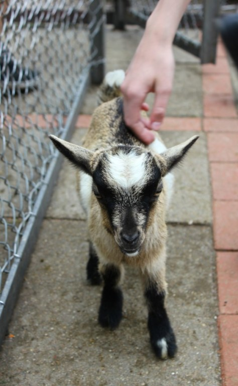 Baby Goat at the Tierpark Hagenbeck Zoo in Hamburg Germany via ZaagiTravel.com