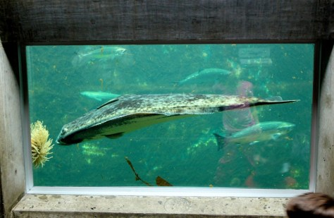 Large flounder fish at Seattle Aquarium in Seattle, Washington, United States via ZaagiTravel.com