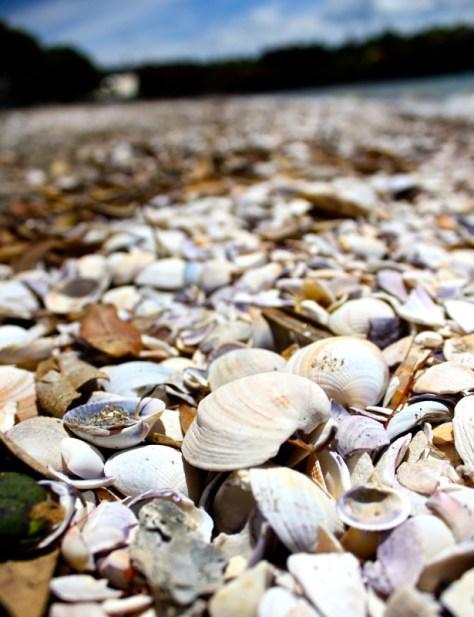 Cockle seashells on Cockle Bay Beach in New Zealand via ZaagiTravel.com