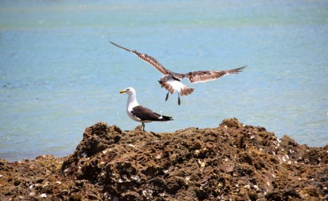 A flying seagull bird on the Maraetai Coast in New Zealand via ZaagiTravel.com