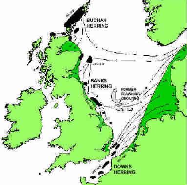 Sillen i Nordsjön