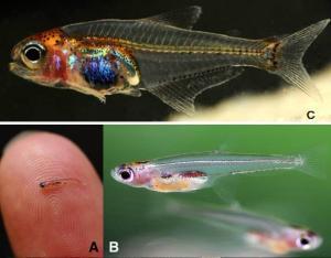 ika, gambar ikan, ikan terkecil didunia,