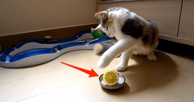 What This Kitty Does With A Lemon Melted My Heart Into Pieces.
