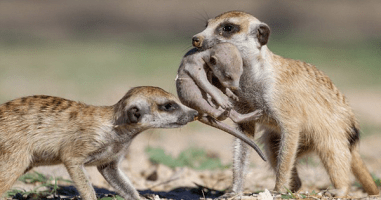 These Photos Of A Meerkat Family Protecting Their Pups Are Awwww Inspiring.
