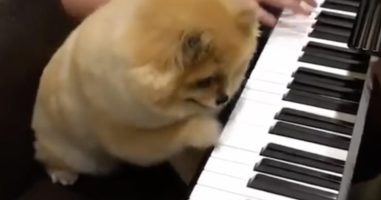 This Pomeranian Is A Better Piano Player Than I'll Ever Be