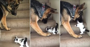 Giant German Shepherd Helps Tiny Foster Kitten Get Upstairs By Carrying Him