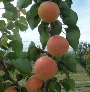 Выращивание абрикоса фото