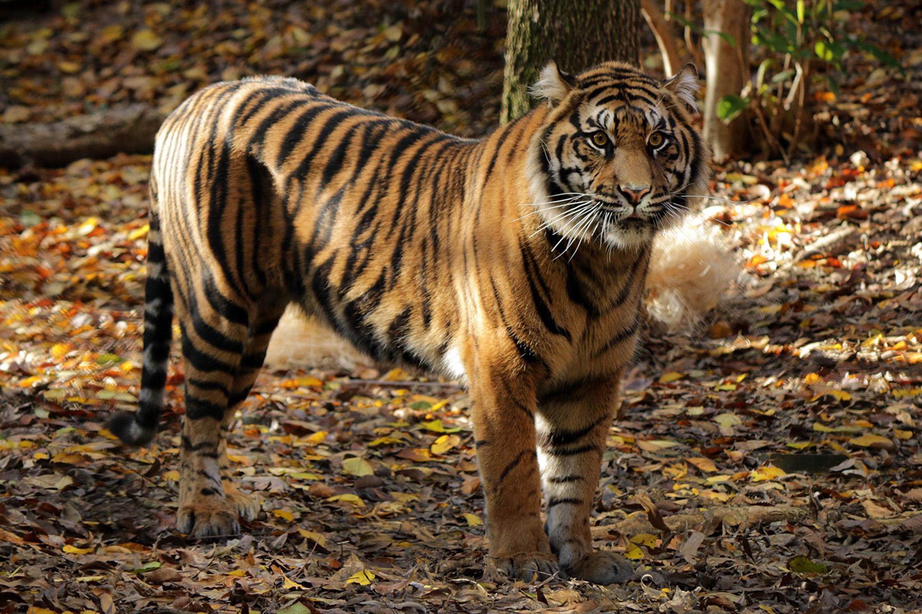 jpg4 april tiger girl