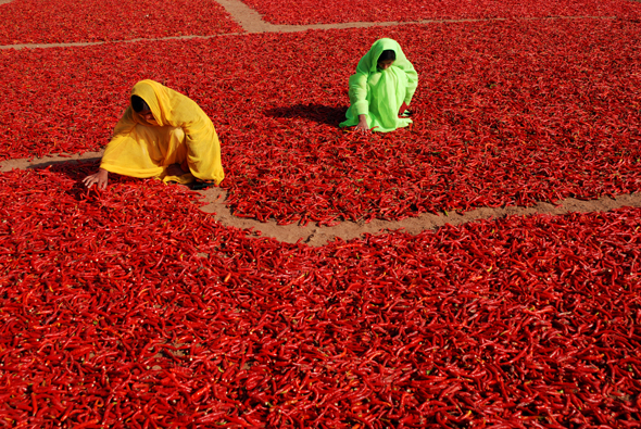 Two women are shuffling red pepper which were wet by the dew drops last cold winter night in a village near Jodhpur,Rajasthan,India.Red peppers are plucked from plant and spread in field to dry for making spice powder.This spice powder enhances the taste of food.