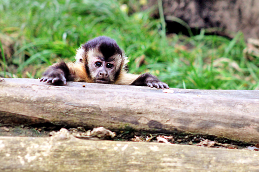 monkey behind log of wood