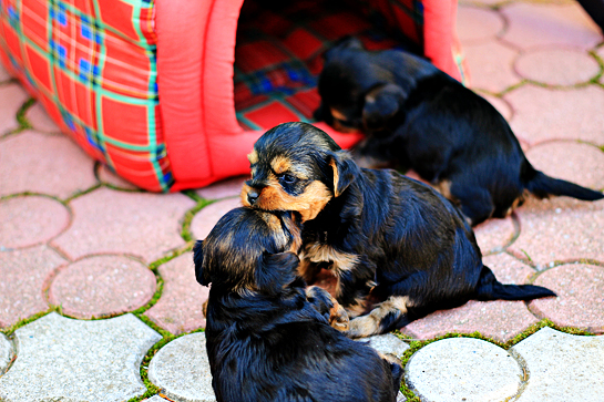 yorkshire-terrier-puppies-picture-playing